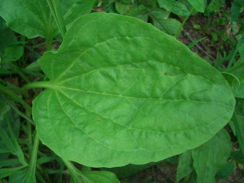 Подорожник - лекарственное растение