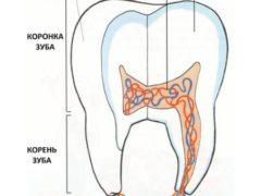 Отличия между молочными коренными и постоянными зубами