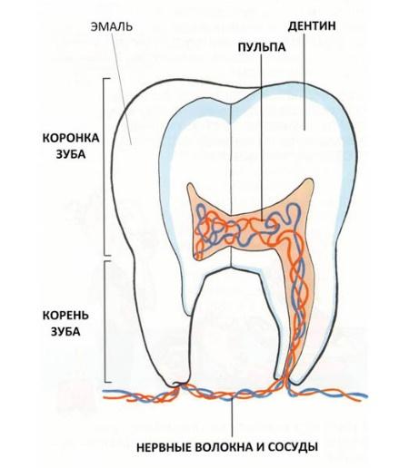 Строение зуба у детей