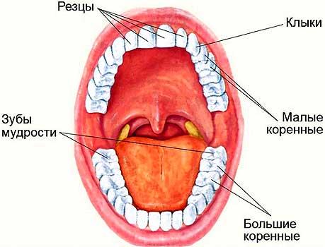 Набор зубов у человека