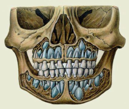 Челюсти перед сменой зубов