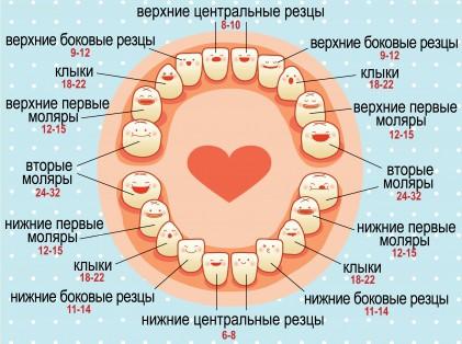 Схема прорезывания первых зубов