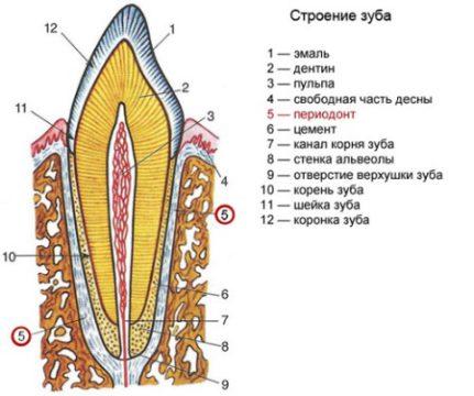 Строение зуба фото