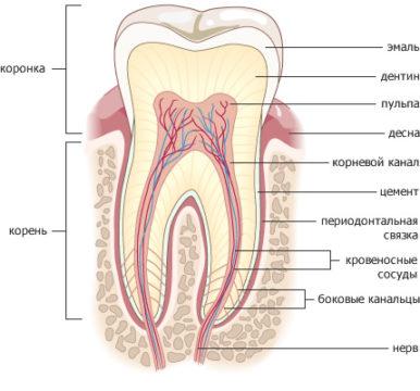 Строение коренного зуба