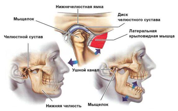Строение нижней челюсти фото